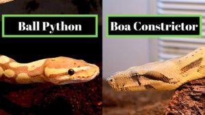 ball-python-vs-boa