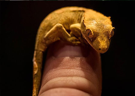 -crested-gecko