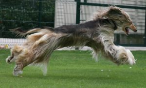 Afghan Hounds Good Guard Dogs
