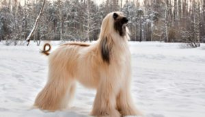 Are Afghan Hounds Good Guard Dogs or Not