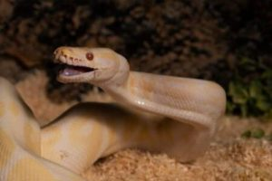 Ball Pythons Aggressive or not