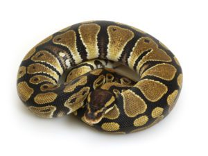 Ball Pythons Eat Fish or Not