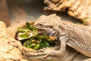 Bearded Dragon Eat Celery
