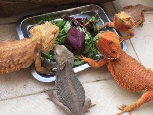 Bearded Dragon Eat Celery or not