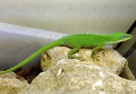 Best Substrate For Anoles