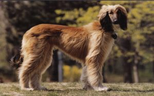 Best Tips For Taking Care Of The Afghan Hound