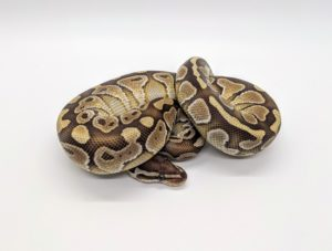 Butterball Python