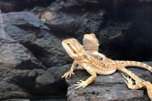 Can Bearded Dragons Eat-Thyme