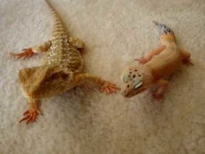 Can Bearded Dragons Live With Leopard Geckos
