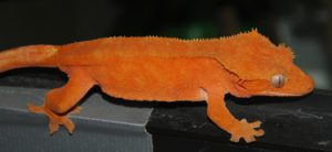 Can-Crested-Geckos-Eat-Strawberries