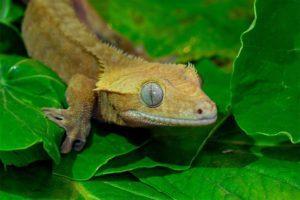 Crested Gecko Not Sleeping