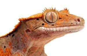 Crested Geckos Eat Oranges
