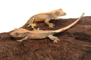 Crested-Geckos-Eating-Grapes