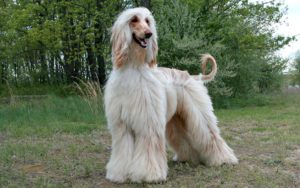 Everything About Afghan Hound