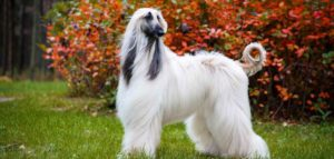 Everything About Afghan Hound Breed