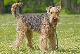 How To Groom-Airedale-Terrier