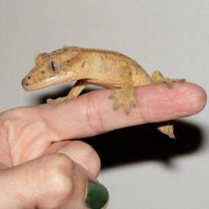How-To Handle A Crested Gecko