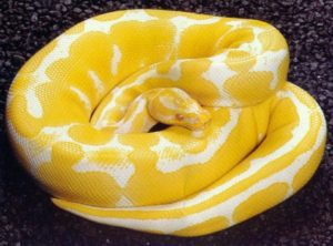 How To Tell Age Of-Ball-Python