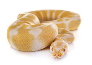 How To Tell Age-Of-Ball-Python