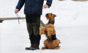 How To Train Airedale-Terrier