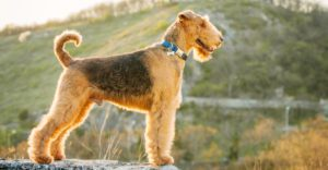 How To Train-Airedale-Terrier