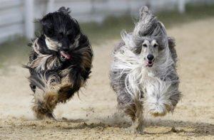 How To Train An Afghan-Hound