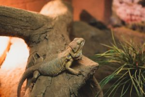 Is thyme safe for a bearded dragon