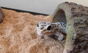 Leopard Gecko So Small
