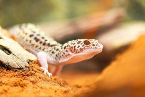 Leopard-Gecko Squeaking