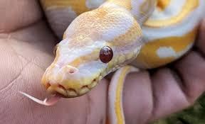 My Ball Python Wheezing