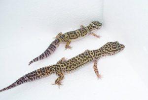 My Leopard Gecko So Small