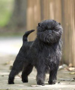 Name for Affenpinscher