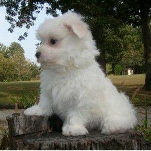 Name for Affenpinscher Dog