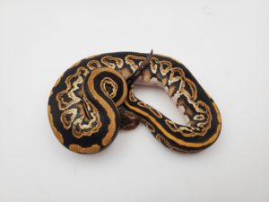 Stress In Ball Pythons-How To Prevent