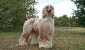 Tips For Taking Care Of The Afghan-Hound