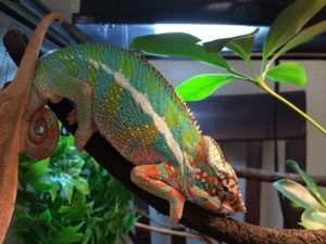 What-Chameleons Need In Their Cage