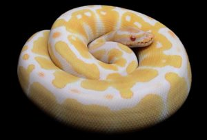 Why-Ball-Python-is-Striking