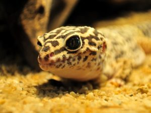 Why Is My Leopard Gecko Squeaking
