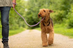 Airedale-Terrier-Everything You Need To Know