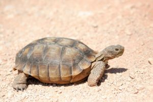 Are Tortoises good pet