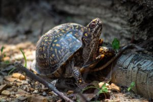 Box Turtle-Everything You Need To Know