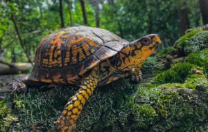 Box-Turtle-Everything You Need To Know