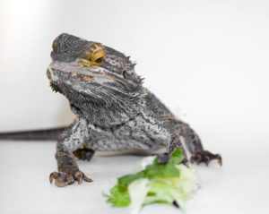 Can Bearded Dragons Eat-Lettuce