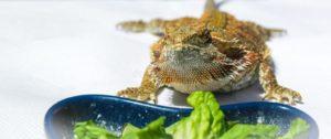 Can Bearded Dragons-Eat-Lettuce
