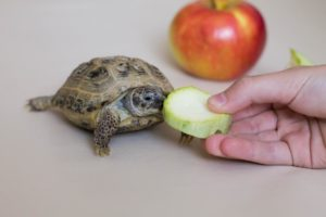 Can Box Turtles Eat-Apples