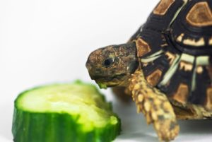 Can Box Turtles-Eat-Cucumbers