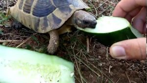 Can-Box-Turtles-Eat-Cucumbers