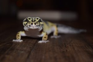 Can Leopard Geckos See In The-Dark