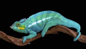 Care Of Panther Chameleon