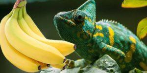 Chameleons Eat-Bananas